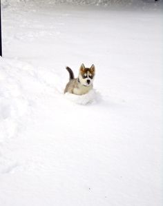 Husky puppy enjoying the snow
