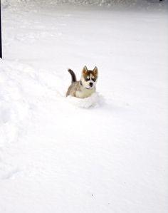 Husky puppy enjoying the snow