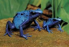 arrow frog, animals, god, tree frogs, blue arrows, homes, poisons, blues, bright colors