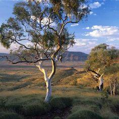 Landscape Photos, Landscape Paintings, Landscape Photography, Nature Photography, Australian Native Garden, Australian Bush, Australia Landscape, Australian Painting, Eucalyptus Tree