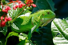 #green #iguana #lizard #nature #reptile