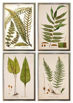 Framed set of 4 - giclee art prints of antique ferns framed in thin silver leaf wood frame made in USA -- MUSEUM OUTLETS