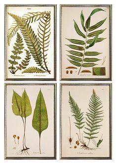 Framed set of 4 - giclee art prints of antique ferns framed in thin silver leaf wood frame made in USA -- MUSEUM OUTLETS