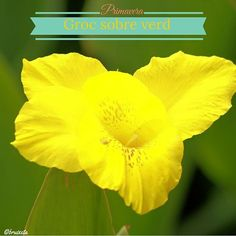 #sensefiltre #plantes #Catalunya #paíspetit #naturalesa #flora #Maigl2016 #primavera #fotografia #colors #groc #terrassadecasa #flowers #plants #Catalonia #nature #spring #Mayl #instagood #macro #canon #photograph #yellow #colors #house
