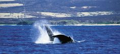 Whale watching - not something you get to do everyday!  #iheartlanai #hawaii