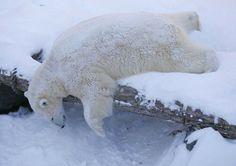 Um urso polar foi fotografado tirando uma soneca na maior preguiça no aquário de Quebec, no Canadá (Foto: Mathieu Belanger/Reuters)