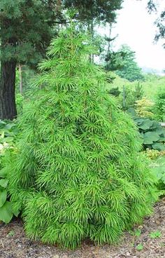 My favorite conifer: Sciadopitys verticillata Japanese Umbrella Pine - Needles are the softest.
