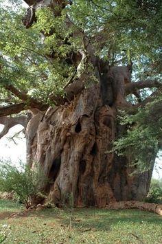 Madagascar Baobab Tree - Andavadoaka - Laguna Blu Resort ...