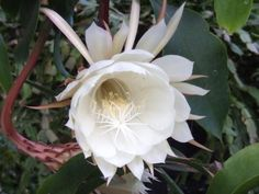 DIY Network showcases night blooming cereus, including growing tips and how to get a night blooming cereus to bloom. Night Blooming Flowers, Night Flowers, Blooming Plants, Real Flowers, Amazing Flowers, Flowering Plants, Moon Garden, Garden Art, Garden Ideas