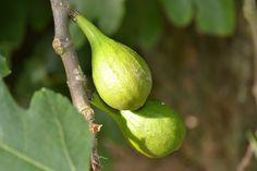 Ficus, Animals And Pets, Home And Garden, Fruit, Nature, Plants, Kiwi, Pets, Naturaleza