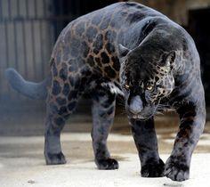 A black jaguar called Boogie walks in his cage at the zoo in Tbilisi, Georgia