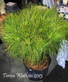 Another new variety of dwarf, grafted pine trees with witches broom. This is a Pinus serontina, Pond pine onto a Pinus elliottii, Slash Pine. only grows to a shrub height of 3' - 4' Love it! Available at www.McKeithengrowers.com