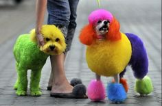 This is why I want a poodle, this is soo cool. I totally want to deck out a poodle! Dog Hair Dye, Dog Dye, Dyed Hair, Poodle Grooming, Pet Grooming, Colorful Animals, Cute Animals, Unusual Animals, Rainbow Dog