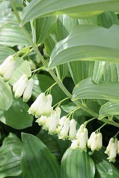 Solomon's Seal, (Polygonatum biflorum) native, beautiful shade plant. Attracts birds & butterflies. Maple & path gardens.