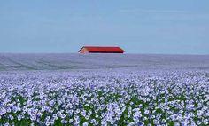 field of flax in bloom