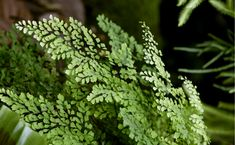 Maidenhair Fern - Maidenhair ferns are soft and lacy plants which have a variety of uses both indoors and outside. With more than 200 species...