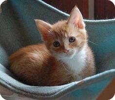 adorable orange and white kitten