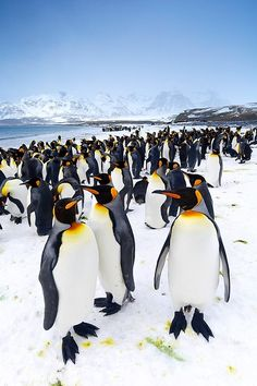 "wolverxne: "" King penguins - South Georgia Island, Salisbury Plain | by : (Jon Cornforth) """