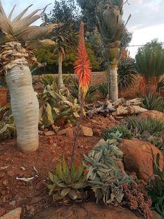 Aloe melanicantha in flower Johan's Garden June 2017