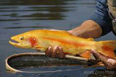 golden rainbow trout.. Almost too pretty to eat. I said almost !  Trout is good eatin. : )