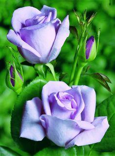 Sissi roses