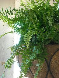 10 Easy To Grow, Non Toxic House Plants-Boston Fern