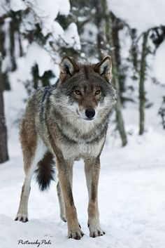 ☀the Determined Wolf by *PictureByPali