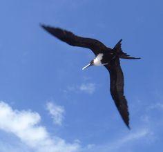 Frigate bird flying high over Pitcairn Island. Bird Flying, Pitcairn Islands, Travel, Viajes, Destinations, Traveling, Trips