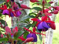 Fuchsia - Upright and Trailing.  Exquisite flowers in a breathtaking array of color combinations and forms dangle like ornaments from upright stems. A classic plant for the hummingbird garden and especially lovely in containers or mixed planters.