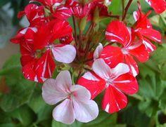 Как вырастить шикарную герань / Домоседы Hardy Geranium, Rose, Garden, Flowers, Plants, Colorful, Garten, Florals, Roses