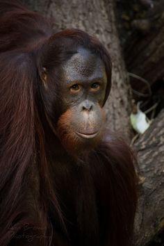 Fotograf Orang-Utan von Antje Braun auf 500px
