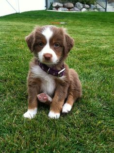 Australian shepherd. Only the cutest puppy ever!