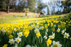 Daffodil Hill (via Bloglovin.com )