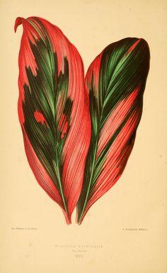 Palm Lily - Cordyline fruticosa - circa 1870