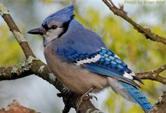 Blue Jay (photo by Brian Wolf)
