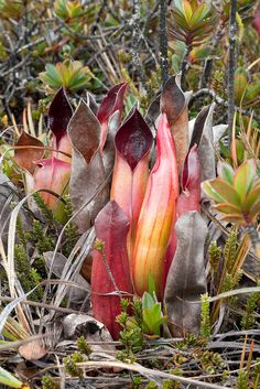 Heliamphora sarracenioides in habitat - love this plant! hopefully it will be part of my collection some day...