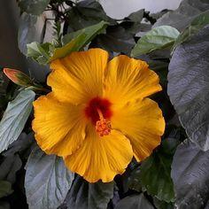 🌺🌺Essa é só mais uma das centenas de cores 🌈🌈 disponíveis do hibisco🌺 (Hibiscus sinensis). O arbusto é um símbolo do Havaí🏄 , mas é nativo da Ásia tropical🌏! É uma planta amplamente hibridada, com cerca de 300 espécies, dando origem a inúmeras formas e cores de flores exuberantes. Apresenta folhas verde claro ou mescladas de verde e branco. É muito empregada no paisagismo, pois além de belo, é muito resistente a pragas e a estiagens