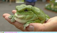 Dumpy Whites Tree Frog. Love me because I'm differently beautiful.