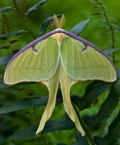 Luna Moth, make a friendly garden grow.