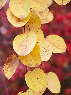 Katsura   ~ soft texture  ~ heart-shaped leaves emerge bronzy red, mature to blue-green, then become apricot yellow  ~ releases a caramel scent as its leaves turn colors in autumn