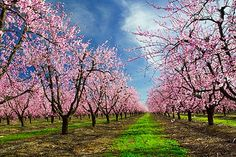 New Fantasy: get married in a peach tree orchard when the flowers are in bloom!