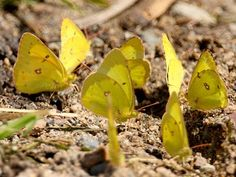 Clouded Sulphur (Colias philodice)when groups are found drinking, as in the photo above, it is called puddling.