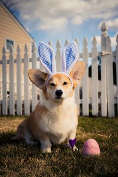 His ears are actually almost as big as the bunny ears. One pissed off corgi... http://www.flickr.com/photos/marc_dalangin/8606225068/