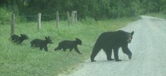 Bear family in Cades Cove - we've looked for bear, but never seen any there in Cades Cove.