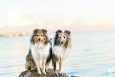 Unsere Shelties in ihrem Element  Dreck Matsch Wasser und Sand! Gibt es was tolleres für Hunde? Ich glaube kaum  Schaut euch doch mal diese Zahnstocher-Beinchen an  Nali fühlt sich zwar wieder pudelwohl zuhause aber insgeheim würde sie jetzt wohl viel lieber mit ihrer Freundin Bailey um die Wette rennen oder den Ostseestrand erkunden  Jasmin von @traum_vom_eigenen_hund hat einen wundervollen Blogbeitrag über den Ostsee Urlaub geschrieben  Schaut doch mal auf dem Bailey Hundeblog vorbei…
