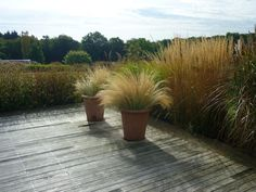 Planters of Mexican feather grass sit at the edge of wooden decking at Crockmore House in Oxfordshire, UK, in a garden designed by Christopher Bradley-Hole. Nassella tenuissima. Gardenista. Photo by Jorg Kaspari