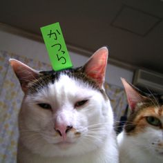 かつら疑惑 Yohkan-san &Milk  #CAT #Animal #Pet