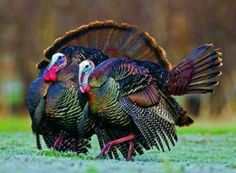 Turkeys - one of my favorite hunts...
