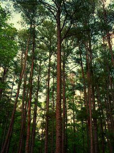 pine trees, Tyler State Park, Texas