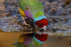 Gouldian Finch (Australia)                                                                                                                                                                                 Plus